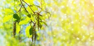 Alder branch