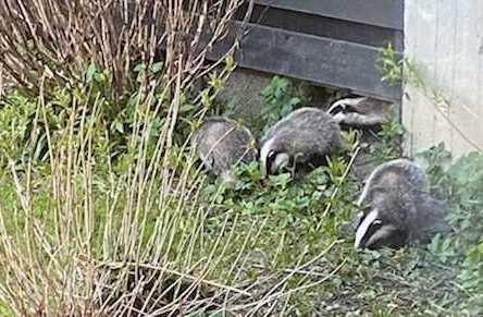 badger family - Oslo
