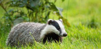 European badger in grassfield